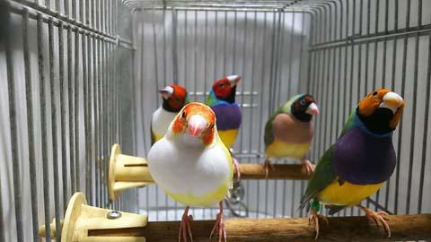 キンチョウ コ 鮮やかな色合いが魅力的な小鳥「コキンチョウ」の特徴や飼い方を解説